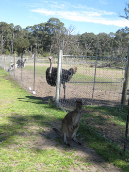 Cute kangaroo outside and scary ostrich...safely behind the fence!