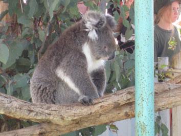 Koala - love the feel of its fur!