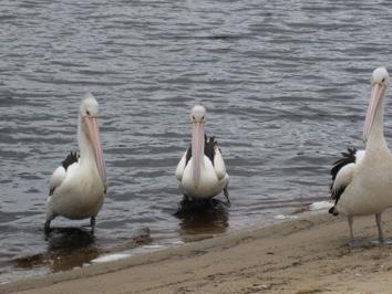 Pelicans at Walpole